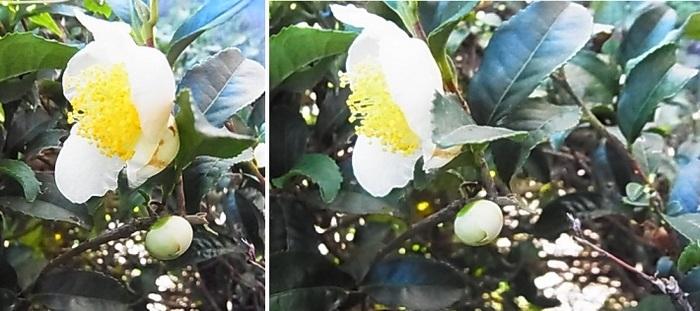 お茶の花2.jpg