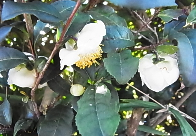 お茶の花5.jpg