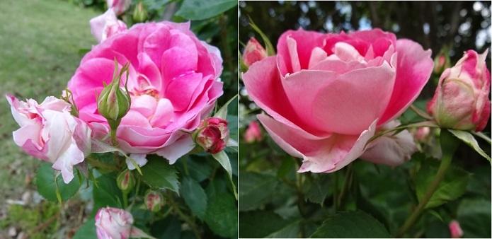 はままつフラワーパークの薔薇2.jpg