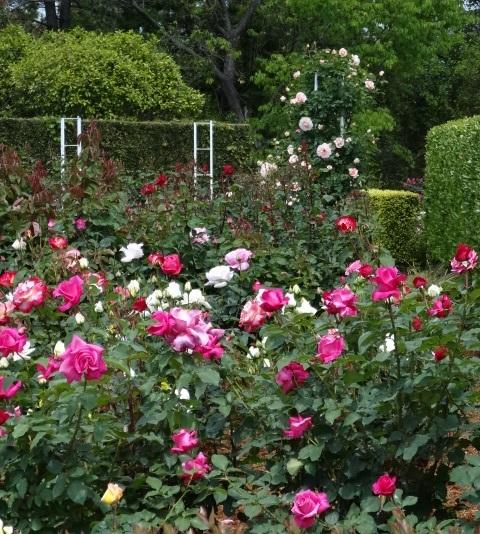はままつフラワーパークの薔薇3.jpg