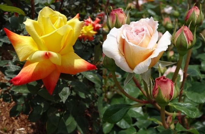 はままつフラワーパークの薔薇5.jpg