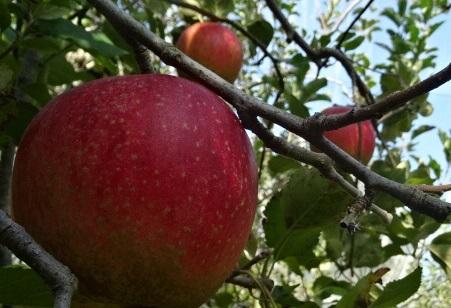 りんご0.jpg