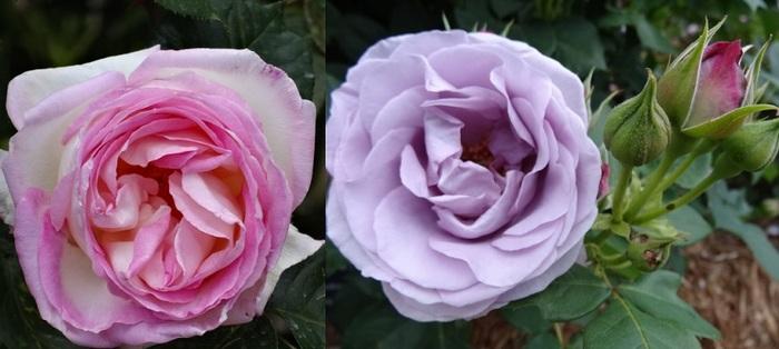 バラの花達10.jpg