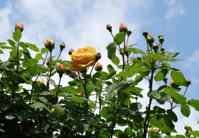 バラの花達3.jpg