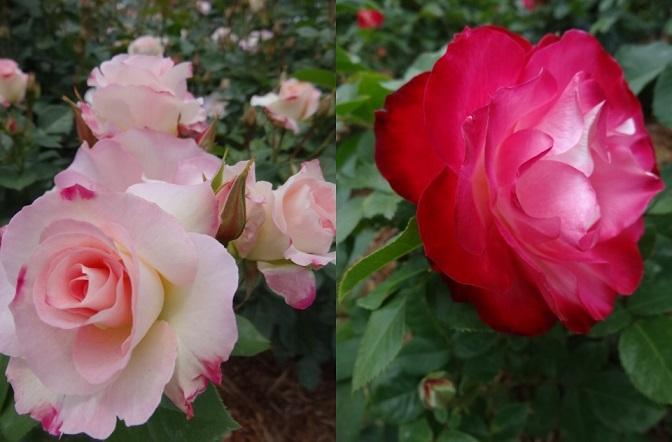 バラの花達4.jpg