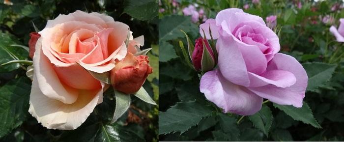 バラの花達5.jpg