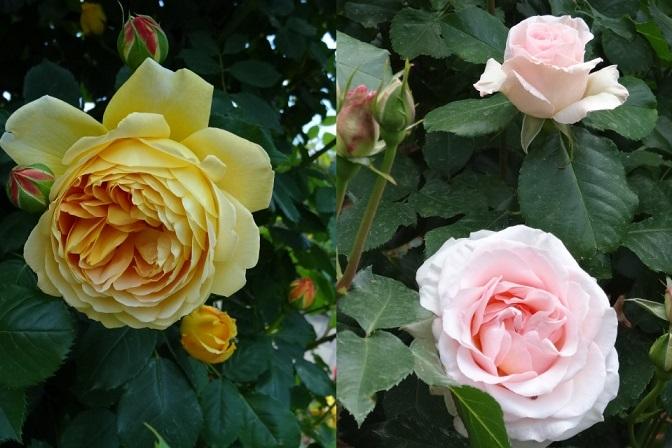 バラの花達8.jpg