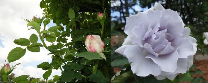 バラの花達9.jpg
