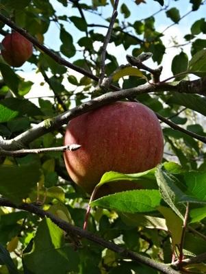 リンゴ狩り3.jpg
