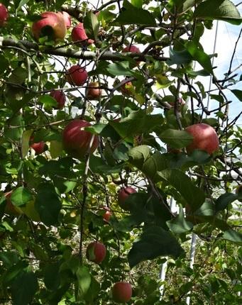 リンゴ狩り4.jpg