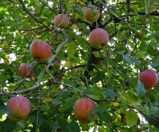 リンゴ狩り1.jpg