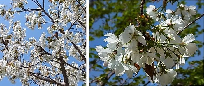 山桜?2.jpg