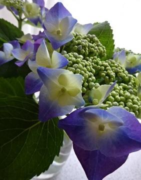 紫陽花0.jpg